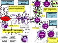 +++Imune cells cheat sheet prime