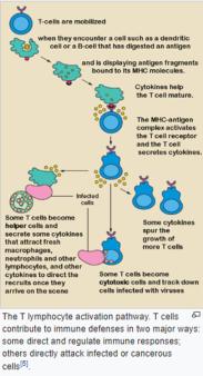 +++T lymphocyte activation pathway