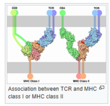 +++ Tc Receptor cf MjrHistCplx [MHC] i or ii differentiates our cell from enemy